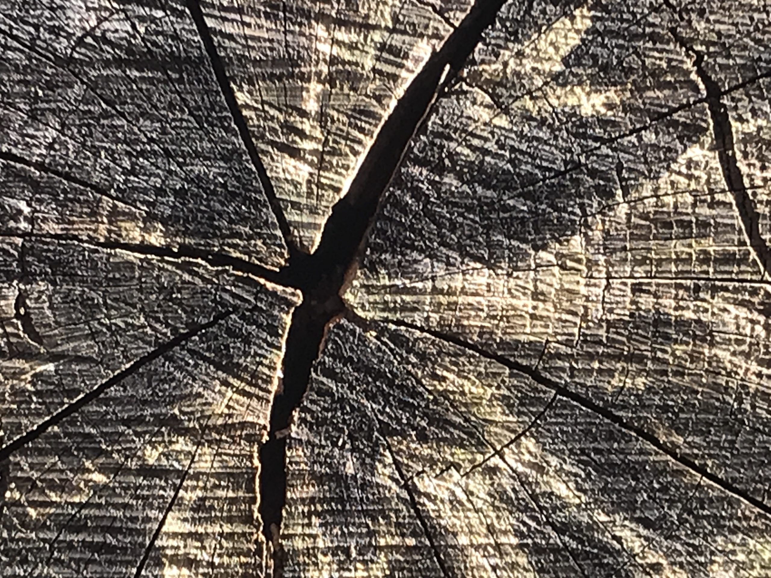 The image is here to show checks in the heartwood, good for burning not for sawing.